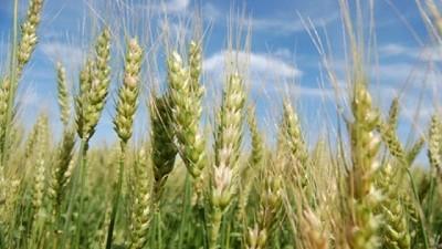 El trigo, con buen desarrollo productivo y dudas sobre el resultado econ�mico
