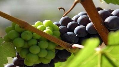Atacama inicia oficialmente la temporada de exportaciones de uva de mesa
