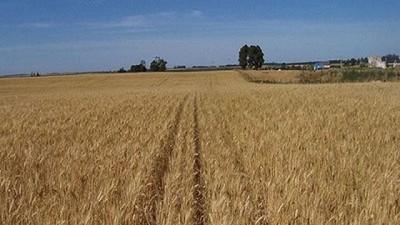 �Qu� pasa con  el trigo?, por Manuel Alvarado Ledesma - Agrositio