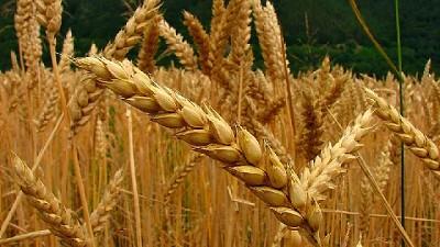 Marco internacional desfavorable para los productores trigueros