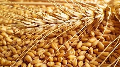Trigo pan: nueva variedad de alto rendimiento y calidad